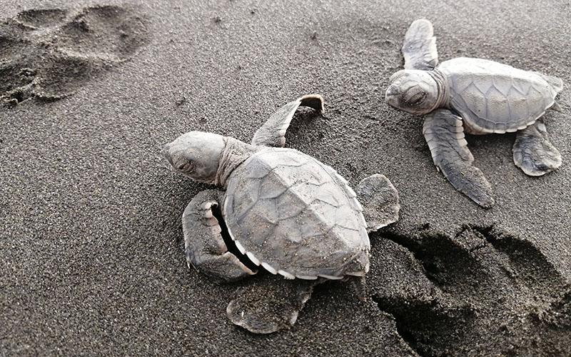 La ferme à tortues de Mama Orbe